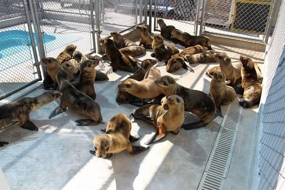 This year, an unusually high number of sea lion pups have stranded on southern California's shores, overwhelming marine mammal rehab centers.