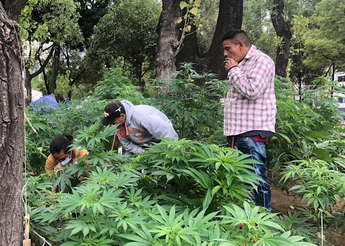 One person smokes while others work at the cannabis garden near Mexico's Senate.