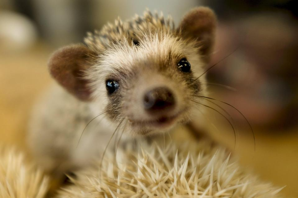 A hedgehog sits in a glass enclosure at the Harry hedgehog cafe in Tokyo, Japan, April 5, 2016. In a new animal-themed cafe, 20 to 30 hedgehogs of different breeds scrabble and snooze in glass tanks in Tokyo's Roppongi entertainment district. Customers have been queuing to play with the prickly mammals, which have long been sold in Japan as pets. The cafe's name Harry alludes to the Japanese word for hedgehog, harinezumi. REUTERS/Thomas Peter