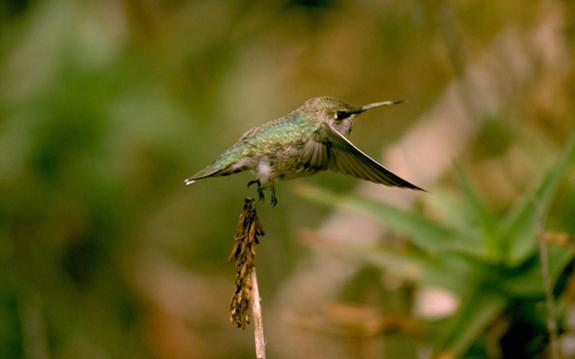 What Tiny Drones Can Learn from Hummingbirds