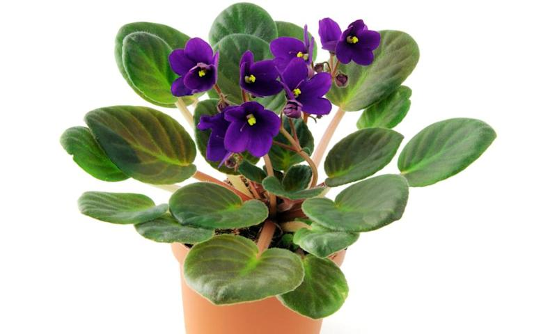 African violet flower in pot on isolated white background