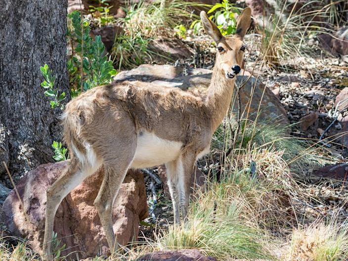 A Mountain Reedbuck.