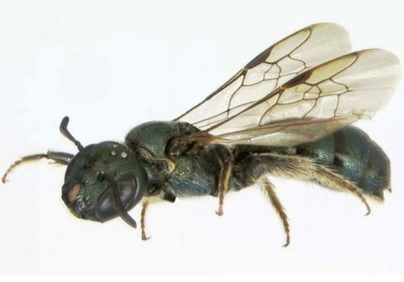 Ancient Bees May Have Been Wiped Out with the Dinosaurs