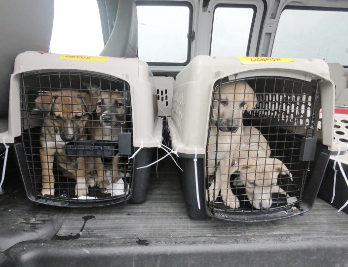 Puppies await transport to the Berkshire Humane Society after a plane full of a few dozen puppies arrived at Pittsfield Municipal Airport in Pittsfield, Mass., Wednesday, Oct. 7, 2020, from Mobile, Ala., ahead of Tropical Storm Delta to make room in the shelters affected by the storm. Some of the dogs will go to the Berkshire Humane Society and others will go to the Montgomery SPCA in New York. Once medically cleared, the dogs will be available for adoption to approved homes. (Ben Garver/The Berkshire Eagle via AP)
