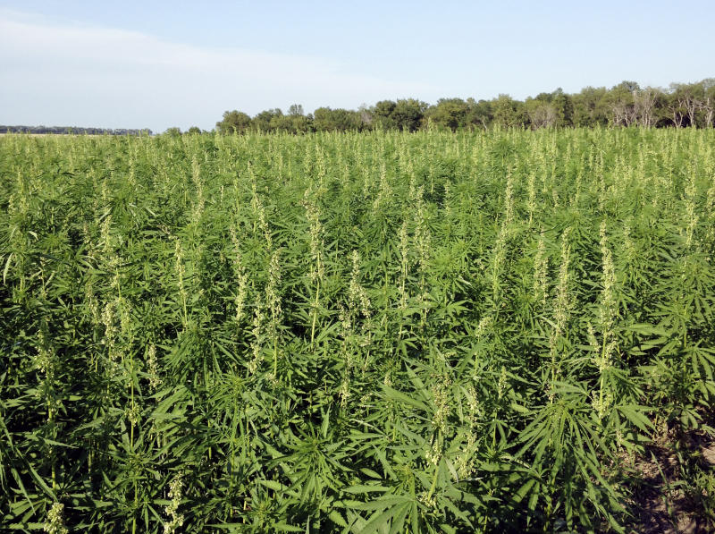 FILE - This July 2016 photo provided by the North Dakota Department of Agriculture shows industrial hemp growing in a field in North Dakota's Benson County. In Arizona, farmers will soon begin planting commercial hemp under a 2018 state law that just took effect once the state issues required licenses. (North Dakota Department of Agriculture via AP,File)