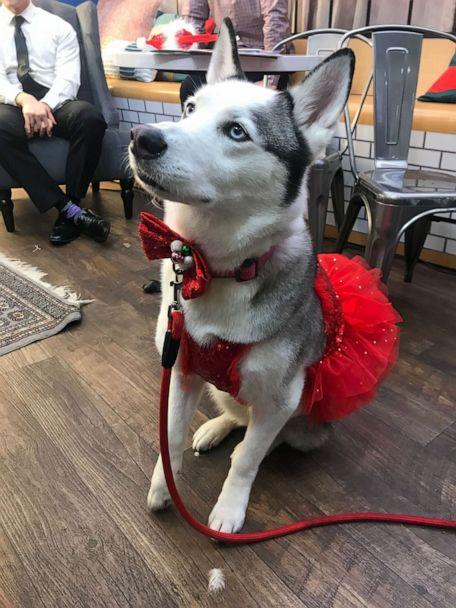 PHOTO: Izzy the Husky was named 'GMA' Pet of the Year. (ABC News)