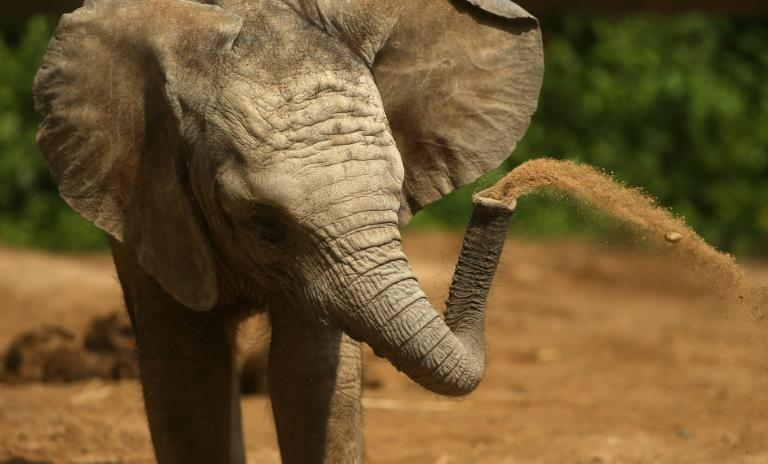 The elephant inhaled at speeds nearly 30 times faster than a human sneeze