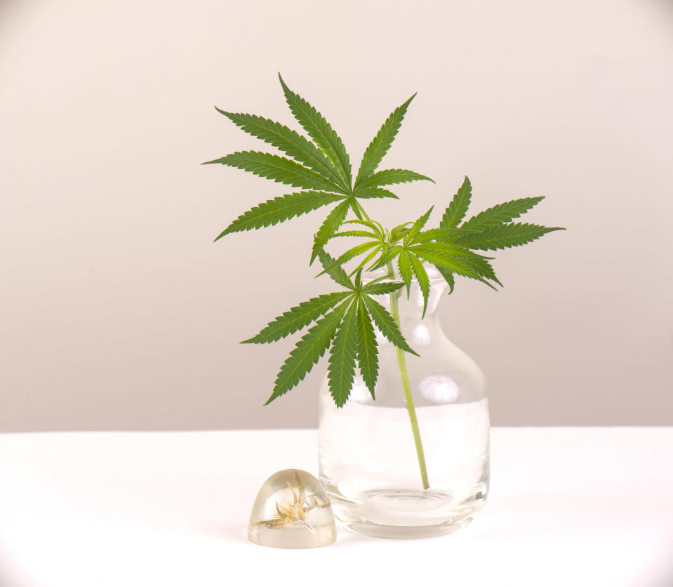 Marijuana leaves in a vase