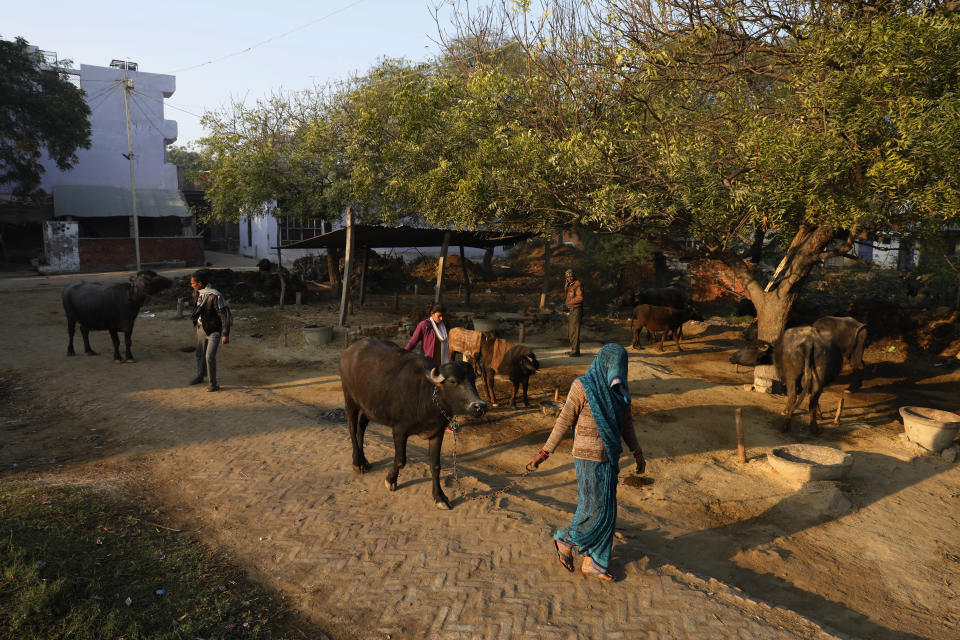 Indian farmer Ram Singh Patel, left, and his wife Kantee Devi, right, take out their cattle from their village house in Fatehpur district, 180 kilometers (112 miles) south of Lucknow, India, Saturday, Dec. 19, 2020. Patel's day starts at 6 in the morning, when he walks into his farmland tucked next to a railway line. For hours he toils on the farm, where he grows chili peppers, onions, garlic, tomatoes and papayas. Sometimes his wife, two sons and two daughters join him to lend a helping hand or have lunch with him. (AP Photo/Rajesh Kumar Singh)