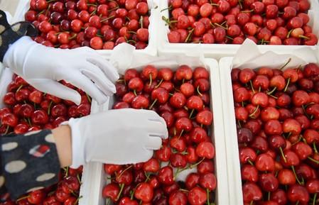 Worker sorts cherries at a logistics base in Zibo