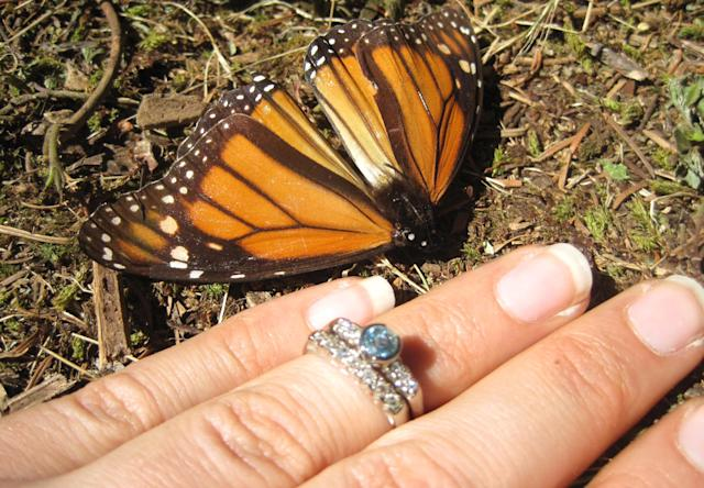 This photo taken Feb. 14, 2013 shows Samantha Goldberger showing off her engagement ring next to a Monarch butterfly soon after Jason Skipton proposed to her at El Capulin reserve, near Zitacuaro, Mexico. Skipton found the love of his life 2,000 miles from home in a chance encounter that gave him butterflies. So of course, he said, there could be no better place to propose marriage than in a swirl of orange and black butterflies that had migrated thousands of miles to mate, at the monarch butterfly sanctuary in central Mexico. (AP Photo/Jason Skipton)