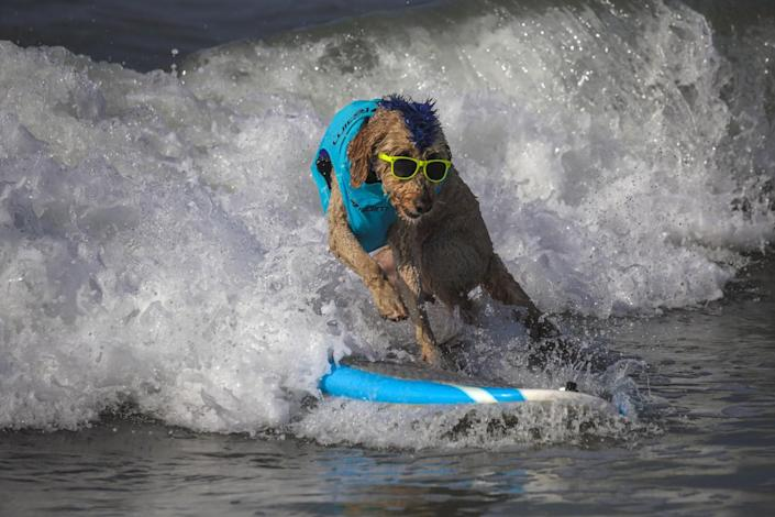 Derby, a 9-year-old Golden Doodle, rides a wave