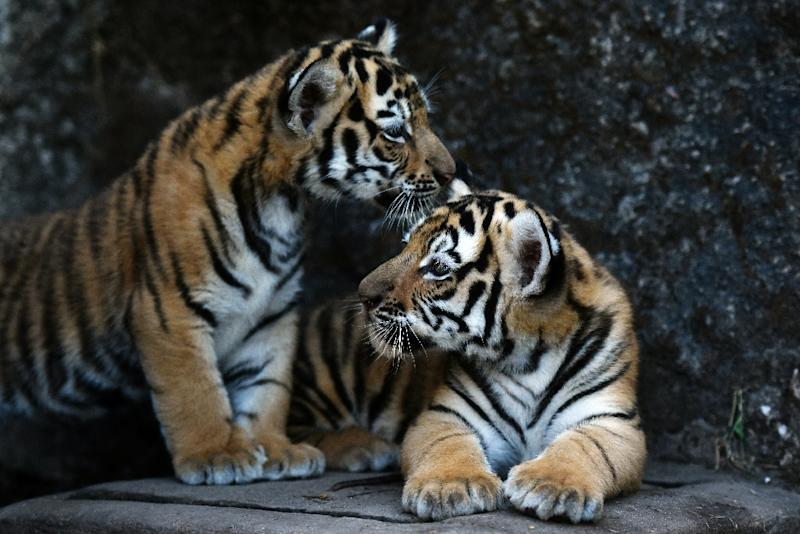 Bengal tiger cubs at a wildlife shelter in El Salvador