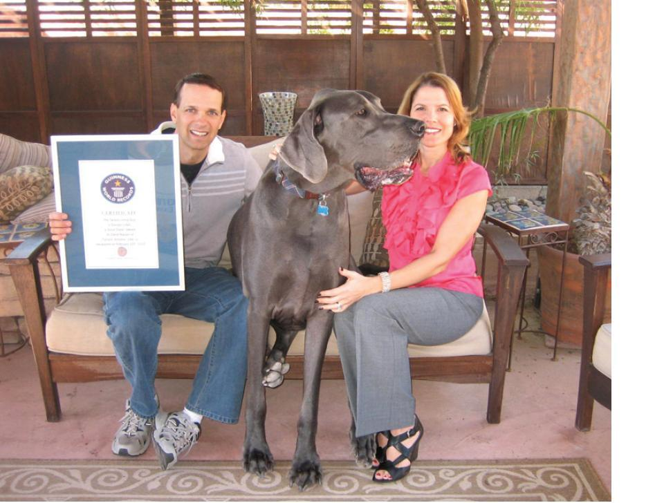 Weighing in at over 245 pounds and standing 43 inches tall, George is the Guinness World Record holder for the Tallest Living Dog and Tallest Dog Ever. The Great Dane, and owners Dave and Christie Nasser have a Guinness Book of World Records certificate to prove it.