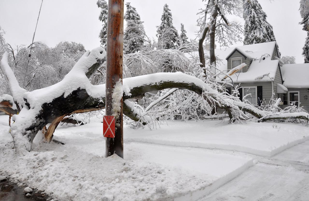 A large uprooted tree lies across the yard of a house across the street from McKennan Park in Sioux Falls, S.D. on Thursday, April 11, 2013. An ice storm followed by more than 6 inches of heavy, wet snow downed trees and power lines across the city. (AP Photo/Dirk Lammers)