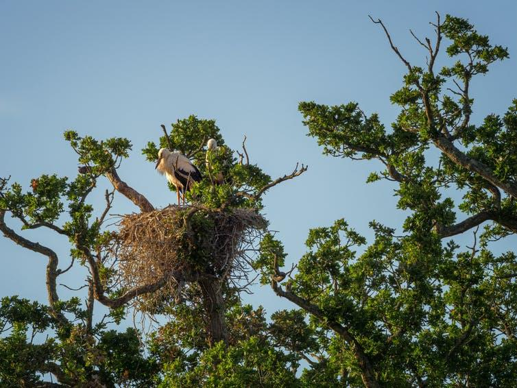 A pair of large, white storks stand in a nest atop a large oak tree.