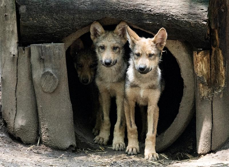 A litter of eight Mexican wolf cubs has graced a zoo in Mexico and given new hope for the endangered species (AFP Photo/Ronaldo SCHEMIDT)