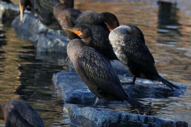 A growing number of cormorants are wintering in Bowring Park.