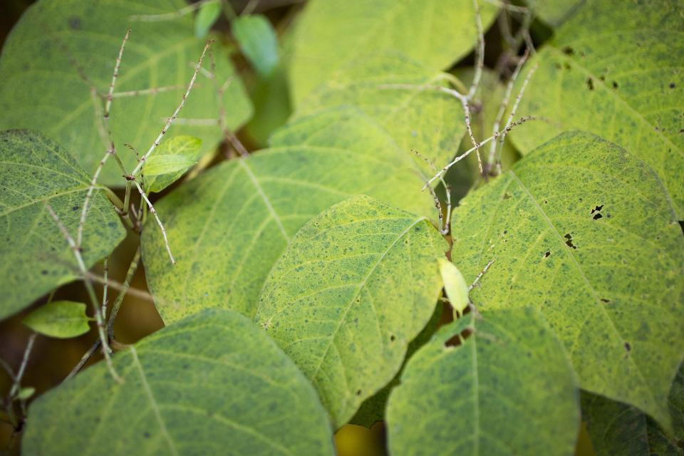 Japanes Knotweed can grow several metres tall. (Getty)