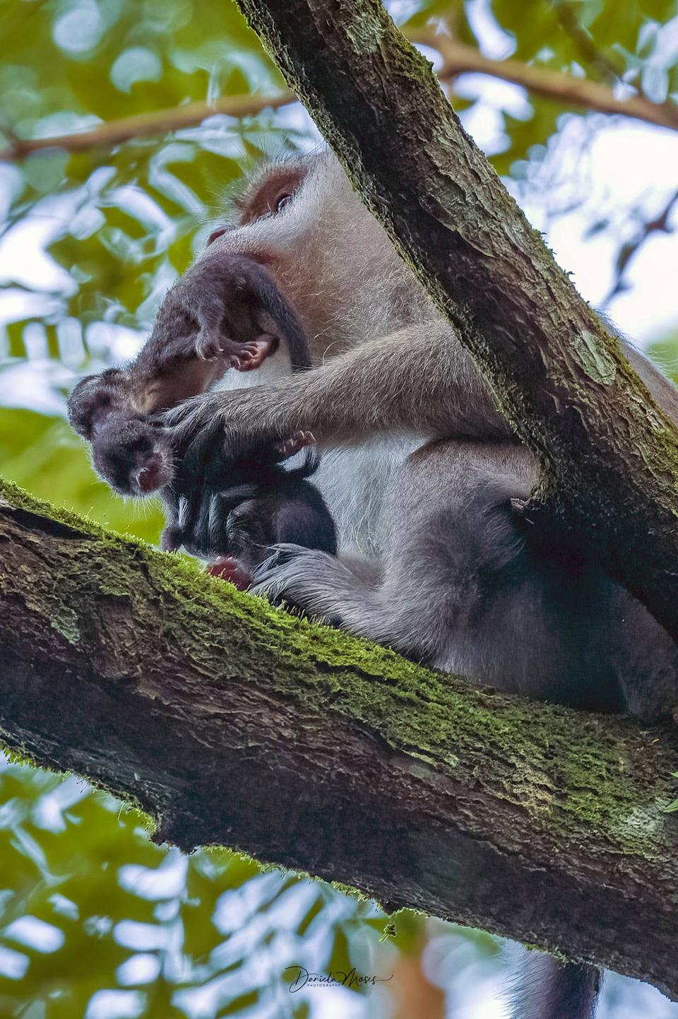 Facebook user Daniela Moses shared rare pictures of a long-tailed macaque that had captured baby common palm civets in Singapore, posted October 2021. (Photo: Daniela Moss)