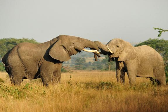 Two African elephants in the wild.