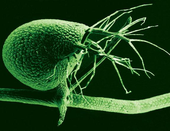 The humped bladderwort plant (shown here in a scanning electron micrograph) is a voracious carnivore, with its tiny bladders leveraging vacuum pressure to suck in bitty prey at great speed.
