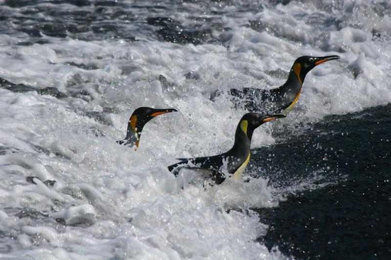 As climate change drives away the fish and squid upon which the flightless creatures depend, the penguins must swim further afield to find sustenance for their hungry hatchlings on land (AFP Photo/Celine Le Bohec)