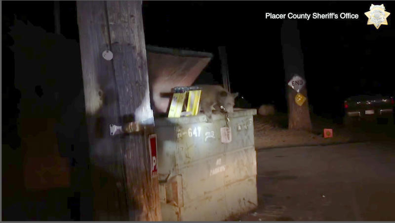 This Tuesday, Aug. 27, 2019 photo from video, third and last in a sequence, released by the Placer County Sheriff's Office, shows a bear cub climbing out of a trash container after depuites lifted the lid and put a ladder inside after the cub became trapped, outside a motel in Kings Beach, Calif., on the north shore of Lake Tahoe. Deputies in Northern California helped a wailing baby bear reunite with its family after the cub got stuck inside the container The bear cub can be heard crying from inside the metal container in video recorded by deputies. A deputy opened the container with a pole and put a ladder inside, allowing the bear to scamper out and rejoin its family. (Placer County Sheriff's Office via AP)