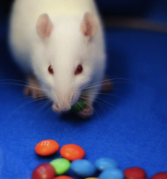 Brain Candy: Chemical Turns Rats into M&M Eating Machines