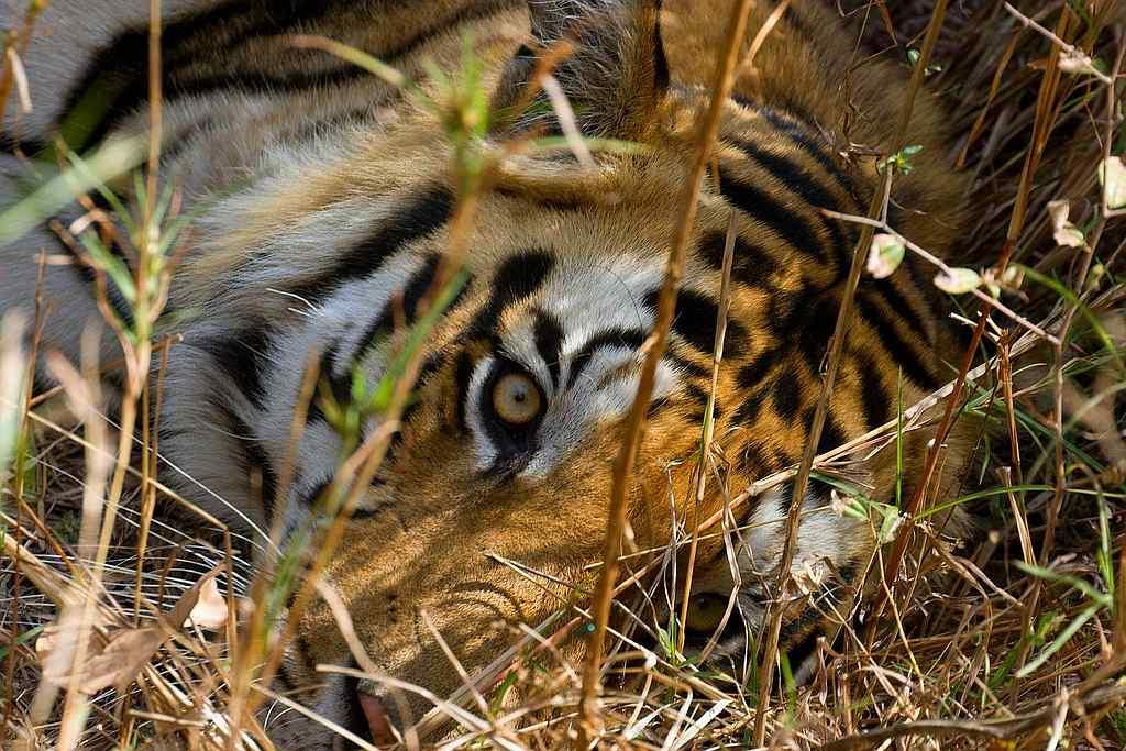 "Eye of the tiger <br>By <a target=""_blank"" href=""http://www.flickr.com/photos/naveen_kumar_reddy/"">Ganugapenta NaveenKumar Reddy</a>"
