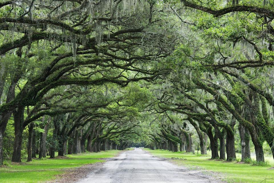 <p>This tree-lined path at the Wormsloe Historic Site in Savannah looks like a romantic place for a stroll. </p>