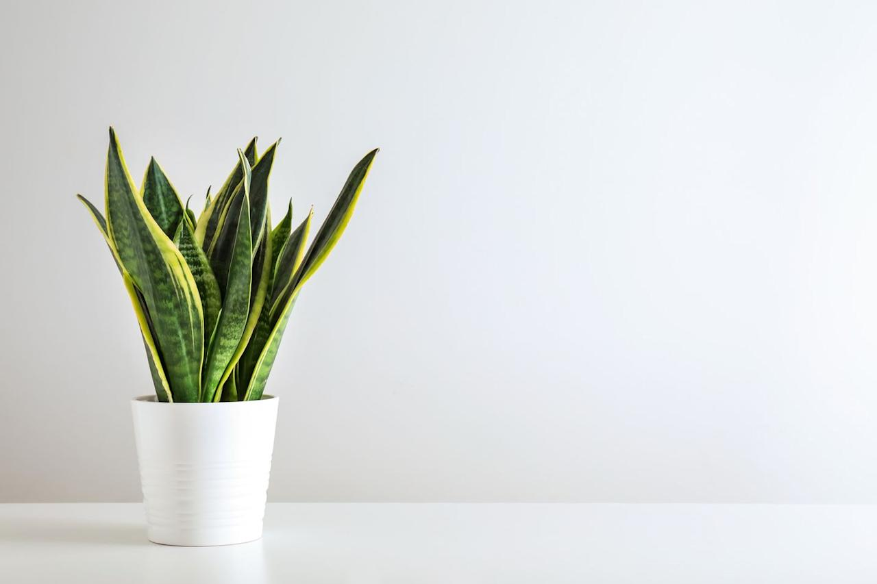 """<p>This brilliant bathroom plant — also known as the Mother-In-Law's Tongue — thrives in high humidity. The long, vertical leaves are known to help filter toxins out of the air, and thanks to the steam from long, hot showers, it won't need watering as much. </p><p>""""If you're working with a small bathroom a snake plant is a great choice as the leaves grow up, rather than out so it won't take up too much floor space. Be sure to dust the leaves on a regular basis so they can still soak up the light and moisture that your bathroom brings,"""" explain the team at Victorian Plumbing.</p><p><a class=""""body-btn-link"""" href=""""https://go.redirectingat.com?id=127X1599956&url=https%3A%2F%2Fwww.thompson-morgan.com%2Fp%2Fsansevieria-trifasciata-var-laurentii-house-plant%2FTKA2937TM&sref=https%3A%2F%2Fwww.countryliving.com%2Fuk%2Fhomes-interiors%2Finteriors%2Fg33454786%2Fbathroom-plants%2F"""" target=""""_blank"""">BUY NOW VIA THOMPSON & MORGAN</a></p>"""