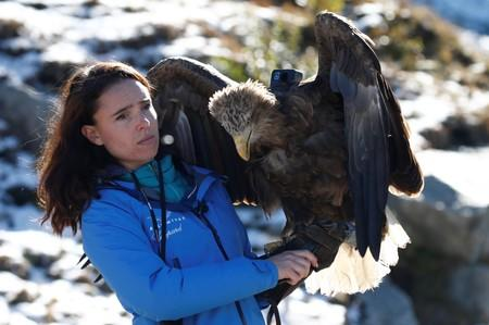 Victor, a nine year old white-tailed eagle equipped with a 360 camera, gets ready to fly over glaciers and mountains from the Plan de l'Aiguille back to Chamonix