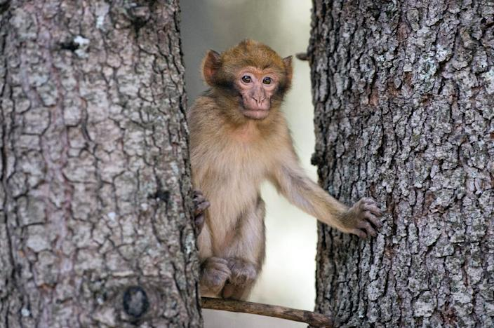 Barbary macaques are taken by poachers and often sold to buyers in Europe for between $110 and $330 (100 and 300 euros) despite laws forbidding the trade. (AFP Photo/FADEL SENNA)