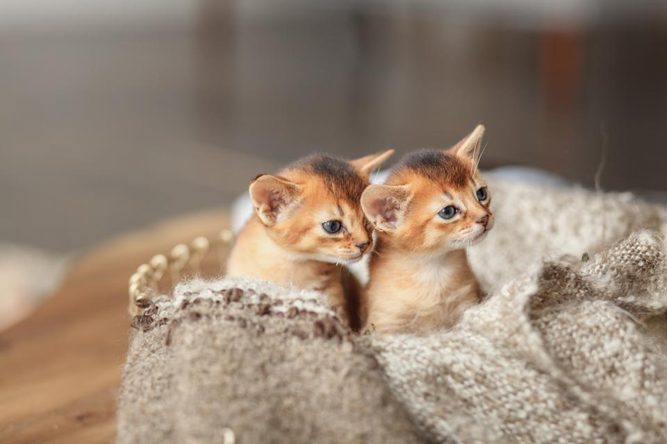 Two Red Kittens In A Basket With A Blanket