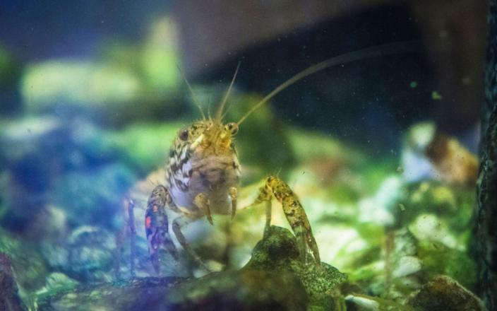 Marbled crayfish are banned by the EU - CTK / Alamy Stock Photo