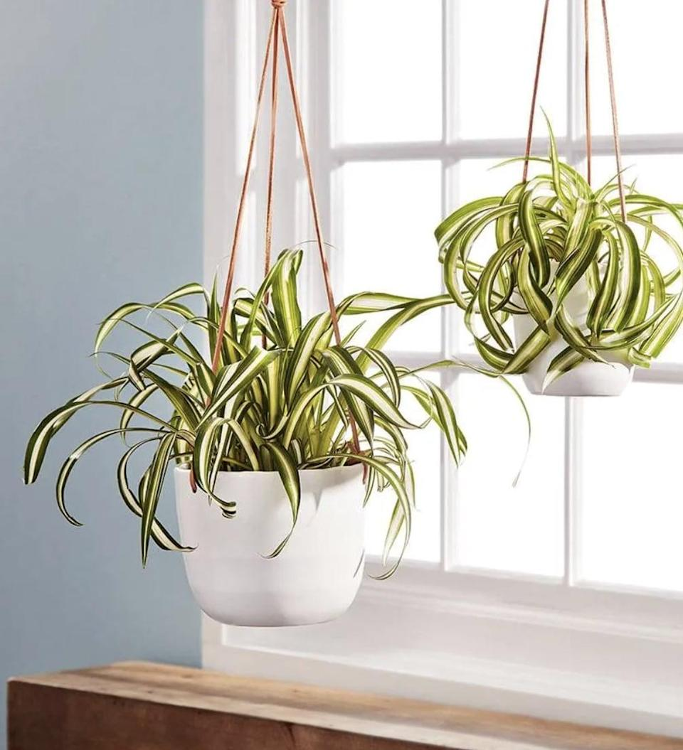 <p>This <span>Plants.com Spider Plant</span> ($45-$65) will make a noteworthy addition to any room. Place it right by a window for optimal light. </p>