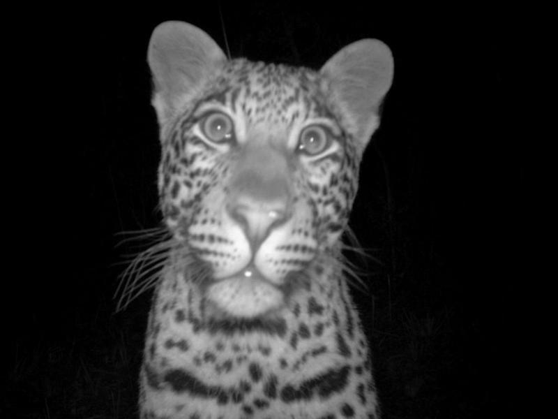 A leopard caught on a camera trap in the Soutpansberg Mountains of South Africa: Durham University