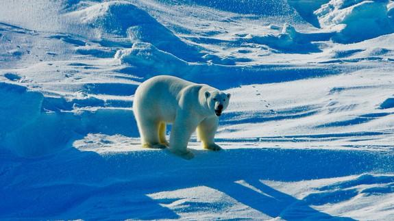 Humans Will Drive Polar Bears To Extinction Without Climate Action - 32 bears decided try human