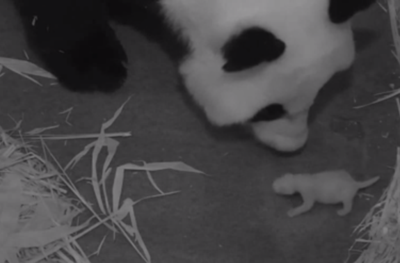 Giant panda Mei Xiang and her newborn cub, barely a week old, were caught on panda cam at the National Zoo early Thursday, Aug. 29, 2013.