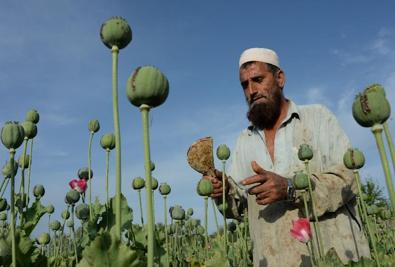 High levels of cultivation meant the estimated opium production soared 43 percent to 4,800 tons, the UN Office on Drugs and Crime said (AFP Photo/Noorullah Shirzada)