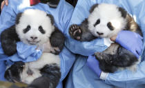 Zookeeper hold 'Meng Yuan' and 'Meng Xiang' during a name-giving event for the young panda twins at the Berlin Zoo in Berlin, Germany, Monday, Dec. 9, 2019. China's permanent loan Pandas Meng Meng and Jiao Qing are the parents of the two cubs that were born on Aug. 31, 2019 at the Zoo in Berlin. (AP Photo/Michael Sohn)