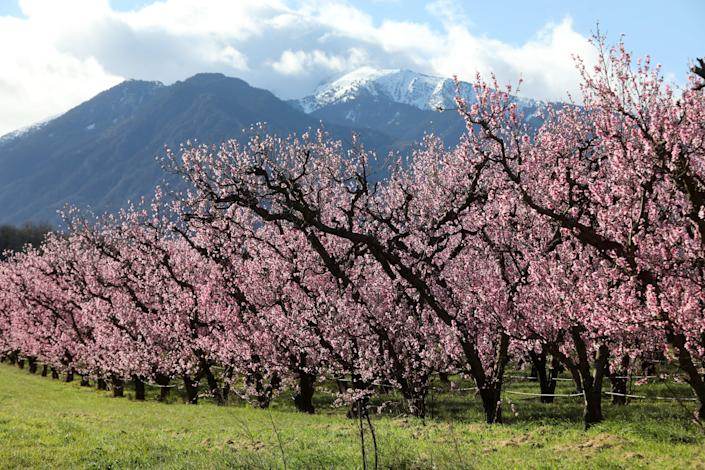 A picture taken on February 26, 2020 shows a row of peach trees flowering some 20 days earlier than usual, in Eus, southern France.