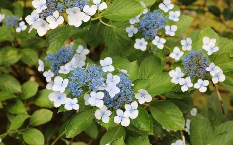 Hydrangea serrata 'Bluebird' - GAP PHOTOS