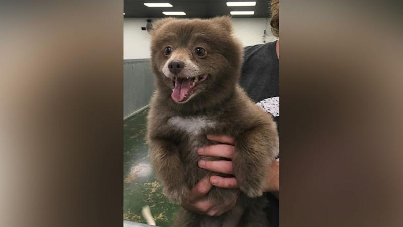 The Mystery of This Adorable 'Bear Dog' Has Been Solved
