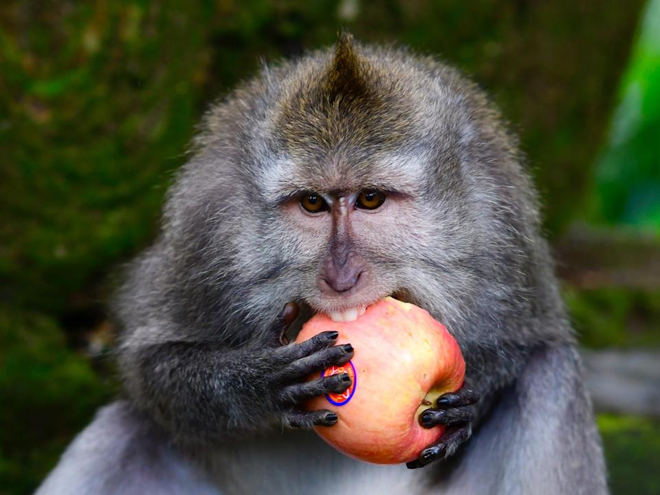 Macaques had a preference for which reward they were given in exchange for valuables (GABRIEL BOUYS/AFP via Getty Images)