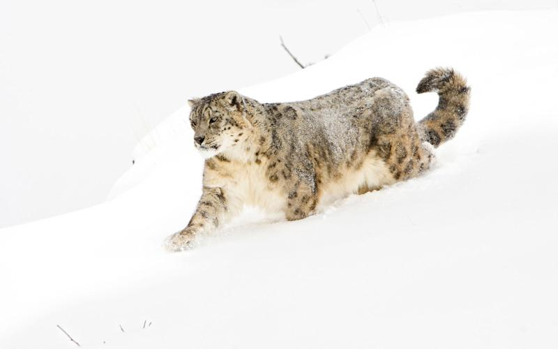 Snow leopards are more numerous than tigers but much more difficult to see