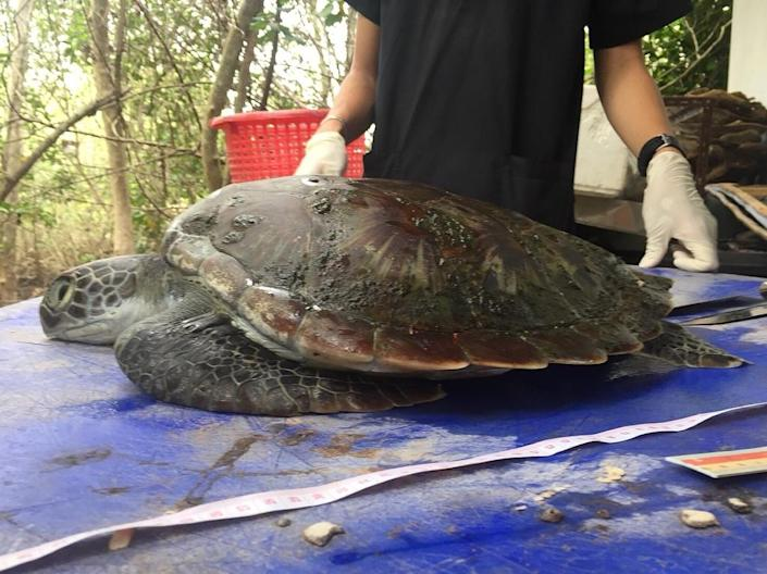 The green turtle washed up on a beach in Chanthaburi province on June 4 and died two days later (AFP Photo/-)