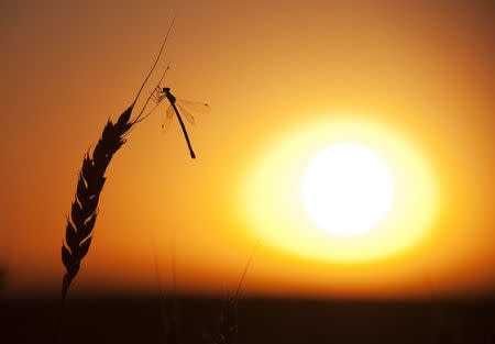 A dragonfly lands on a stalk of wheat ready for harvest during sunset on the Canadian prairies near Vulcan