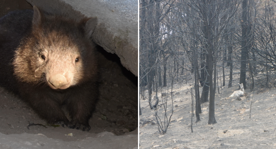 Split screen. Left - light shines on a wombat in a burrow at Ms Bisset's property. Right - a kangaroo in the distance in a burnt out forest.